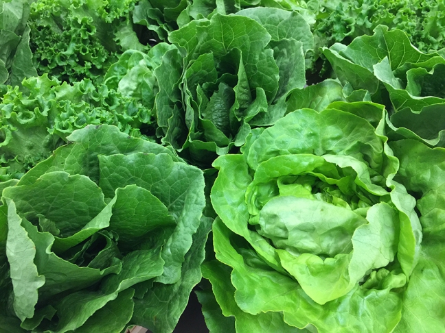Romaine lettuce, Yuma, Arizona