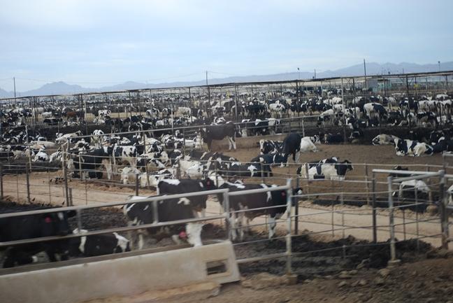 cows in Yuma