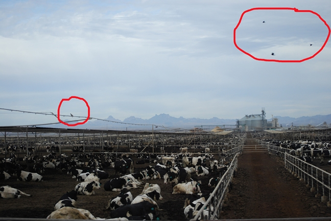Miles of cows and only four birds.