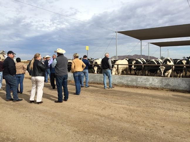 92,000 cows in Yuma