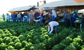 Migrant workers quickly chop and trim giant, lush heads of Romaine lettuce and toss them onto a conveyor belt for the next person.